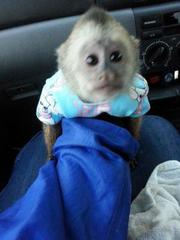 capuchin Monkey available  for  Christmas contact us (267) 281-4166,